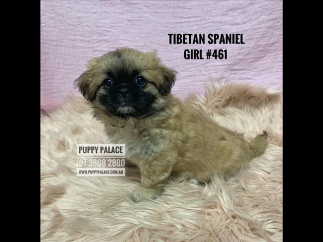 Tibetan Spaniel Puppies  - Puppy-Palace-Pet-Shop. Puppy-Palace-Pet-Shop. We are in store & ready to go to our furever homes...0408-985-133...