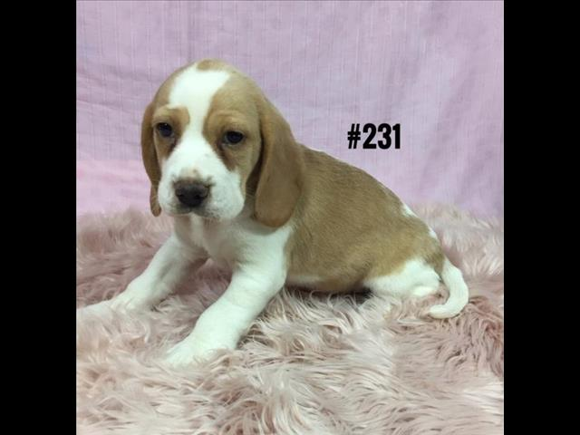 Beaglier (Beagle X Cavalier) Puppies - Girl. At Puppy Palace, Underwood