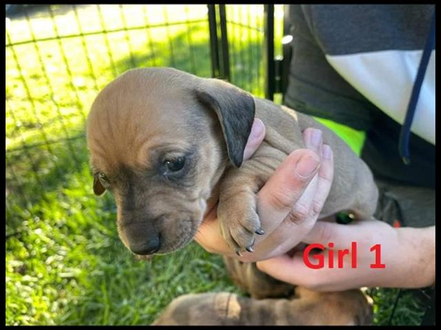 Mini Dachshund Puppies - Girls. Arriving at Puppy Palace Pet Shop & available to go home on 17 June.