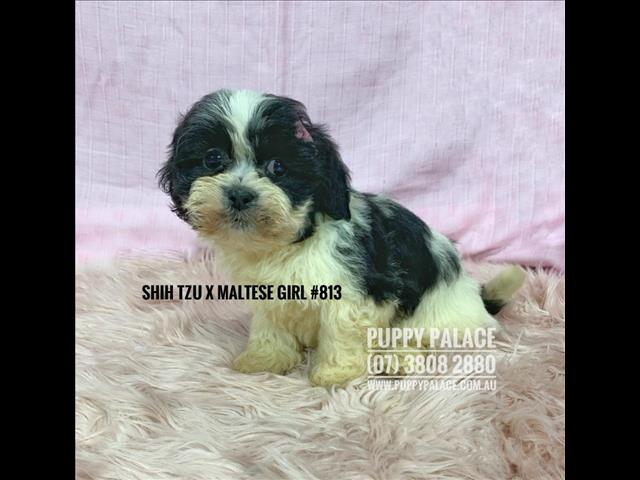 Dogs New Maltzu Maltese X Shih Tzu Puppies Girl In Store And