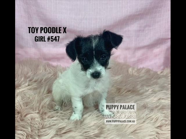 Toy Poodle X Mini Dachshund/Chihuahua pups - Girls. In store now and ready to go home.
