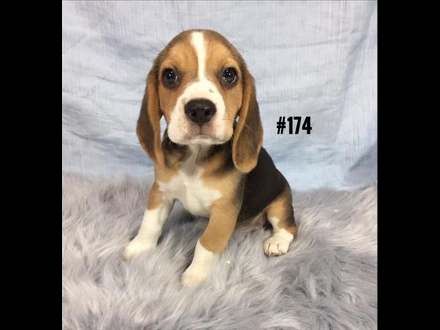 Beagle Puppies - Boy.  At Puppy Palace, Underwood.