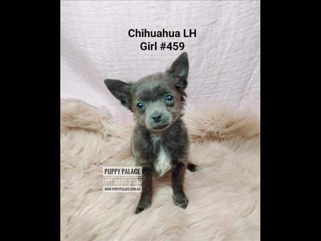 Chihuahua Puppy - LH Blue Girl. I am in store & available to go to my furever home. Underwood, Qld.