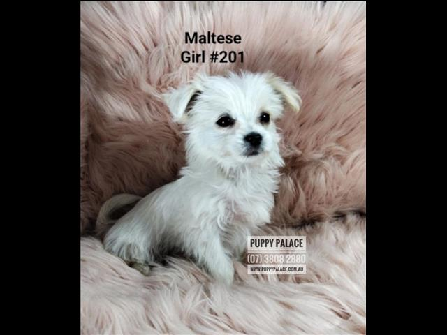 Maltese Puppy -  I am in store. Puppy Palace, Underwood.