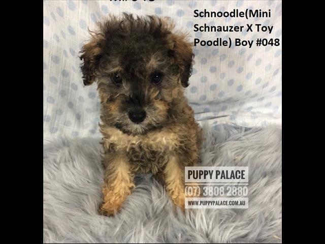 Mini Schnauzer X Toy Poodle (Schnoodle) Puppies -  Boys. At Puppy Palace Pet Shop.
