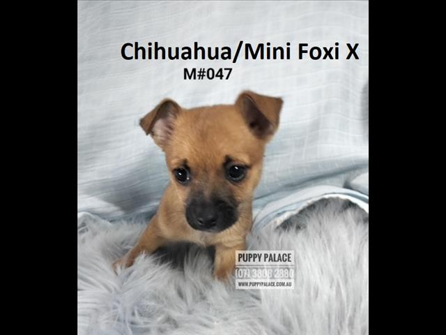 Chihuahua/Mini Foxi X Long Coat Chihuahua - Boys. In store & ready to go home.