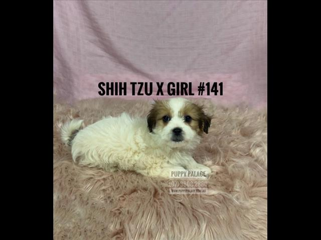 Shih Tzu X Maltese Puppies - Boys & Girl. Now in store at Puppy Palace Pet Shop