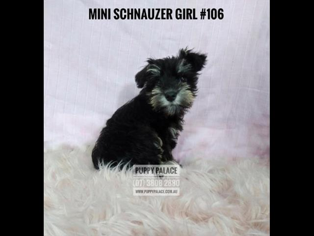 Mini Schnauzer Puppies - Girls. In store & ready to go to their furever homes.