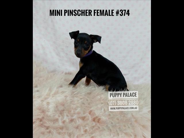 Miniature Pinscher (Min Pin) Puppies -  Girls & Boy. In store & ready to go home