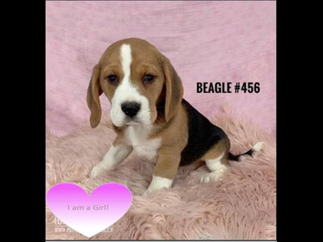 Beagle - Girl. I am in store and ready to go to my furever home.