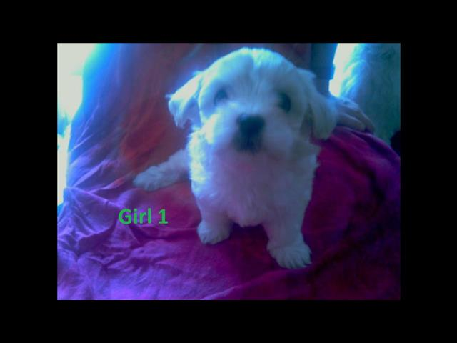 Maltese X Shih Tzu Puppies (Maltzu) - 2 Girls. We are arriving into store 24 January.  At Puppy palace Underwood