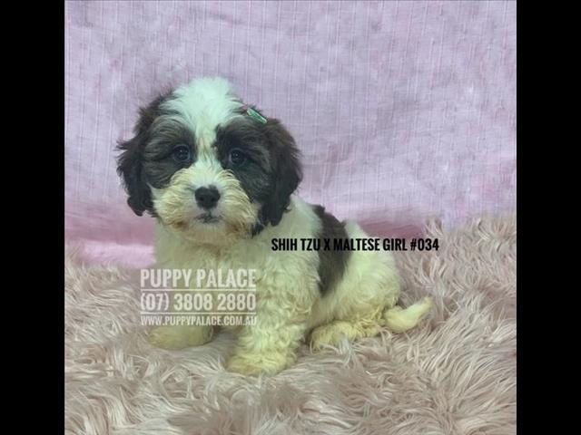 Maltese X Shih Tzu Puppies For Sale Qld idea gallery