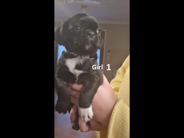 Pugalier/French bulldog X Pug - We are arriving into store & available to go home 17 June.