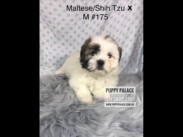 Maltese/Shih Tzu X Lhasa Apso Puppies - Boys.  In store and ready to go to their furever homes.