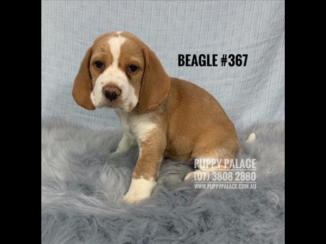 Puppies For Sale Brisbane | Pups for sale Brisbane, Cavoodle