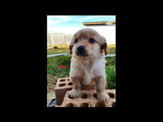 Cavoodle X Maltie (Maltese x Westie) -  PUPS ARE NOW SOLD.  Arriving into store 10 August.
