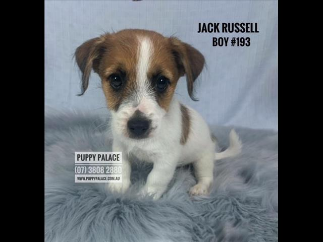 Jack Russell Puppies - Boys.  In store now and available to go home.