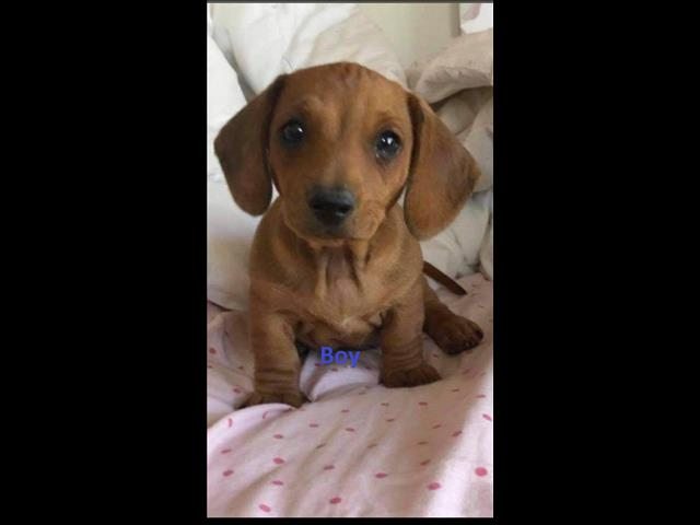 Mini Dachshund Puppy - Boy. I am arriving into store & Available to go home on 29 October