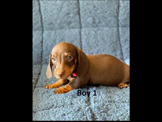 Mini Dachshund Puppies - Chocolate Boys. (SOLD MORE ARRIVING IN JANUARY). We arriving into store & Available to go home on 10 December.