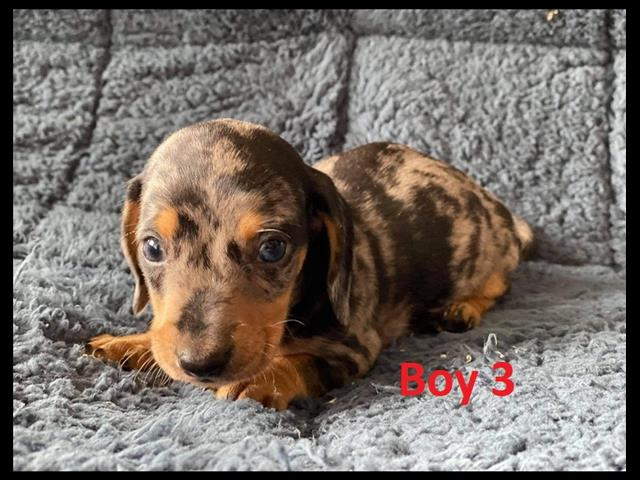 Mini Dachshund Puppies - Black/Tan & Silver Dapple We arriving into store & Available to go home on 28 January.