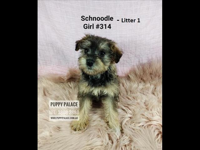 Schnoodle - (Mini Schnauzer X Toy Poodle) Puppies -  Available in Store Now. Puppy Palace Pet Shop, Underwood.