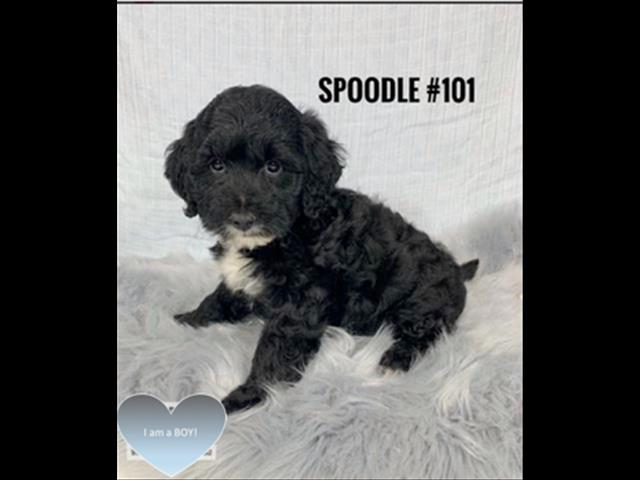 Spoodle / Cockerpoo Puppies (English Cocker X Toy Poodle) - Boy. I am in store now.