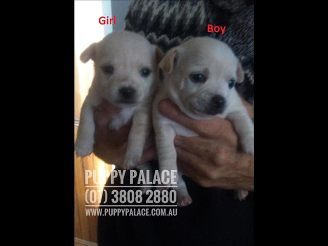 Chihuahua X Maltese/Jack Russell - Boy & Girl. Arriving into store 16 July.