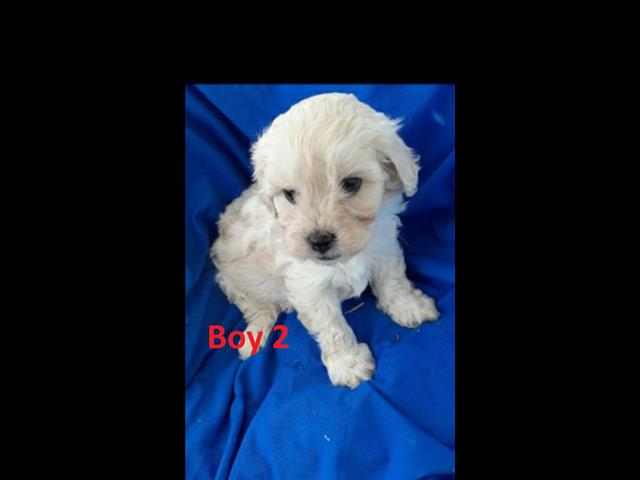 Moodle (Maltese X Toy Poodle) X Cavalier) Puppies -  PUPS ARE NOW SOLD.  Arriving into store 13 August.