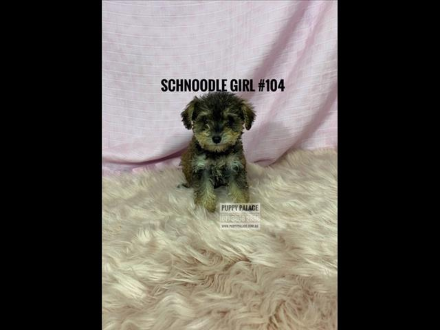 Schnoodle (Mini Schnauzer X Toy Poodle) Puppies - Boy & Girls. In store and ready to go home.