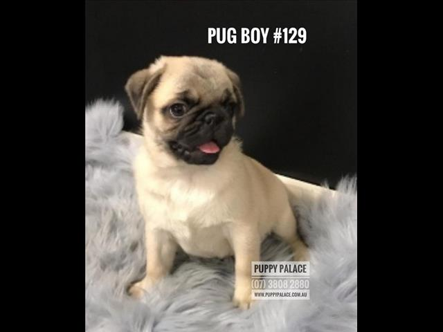 Pug Puppy - Boy.  I am in store at Puppy Palace & ready to go to my furever home.