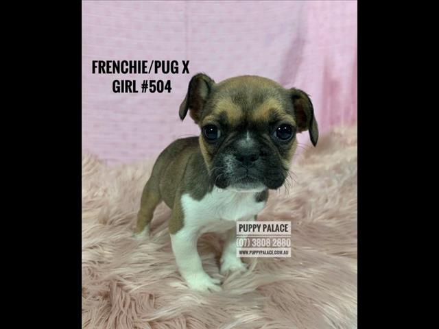 Frug (Frenchie X Pug) X French Bulldog Puppies - Girls & Boy. In store and ready to go home now. Pet Shop Brisbane.