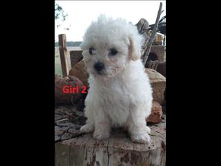 Toy Shoodle ( Shih Tzu X Toy Poodle) Puppys - Boys &  Girls. Arriving into store 10 December.