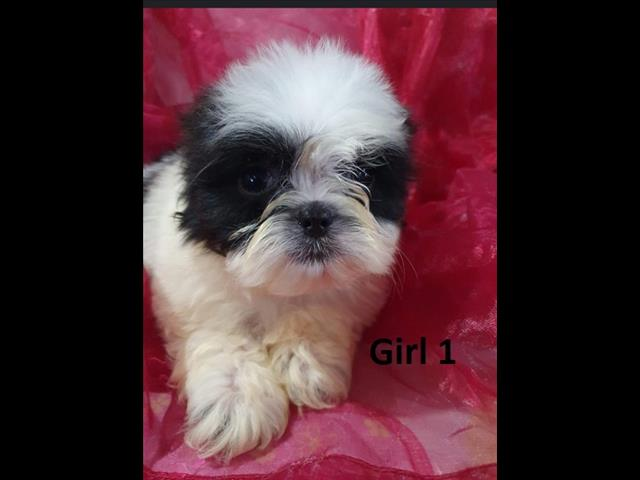 Shih Tzu Puppies - We are arriving at Puppy Palace Pet Shop & ready to go home 17 June.