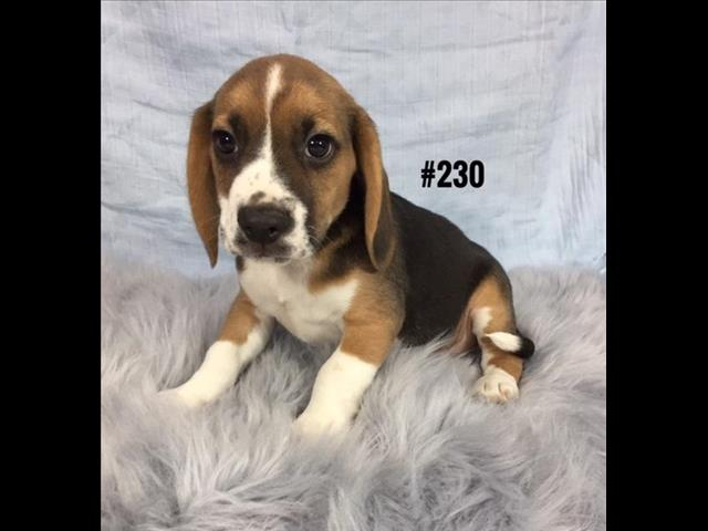Beagle Puppies - Boy.  At Puppy Palace, Underwood.