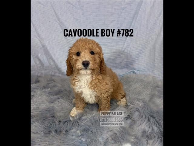 Toy Cavoodle Puppy (2nd Generation) - Boys. In store & ready to go home.