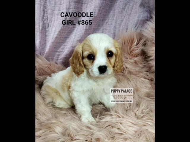 Toy Cavoodle Pups (Cavalier X Toy Poodle) 2nd Generation - Puppy-Palace-Pet-Shop. We are in store & ready to go to our furever homes...0408-985-133...