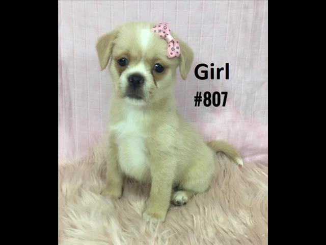 Maltese/Tibetan Spaniel X Maltese /Shih Tzu Puppies - 3 Girls & 1 Boy.  At Puppy Palace Underwood.
