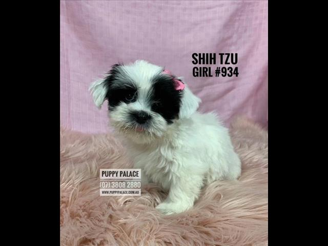 Shih Tzu Puppies - Girl & Boys. In store now and ready to go to their furever homes.