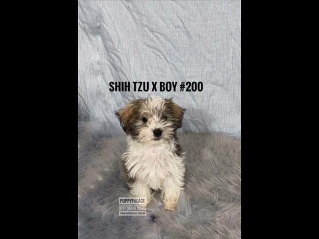 Shih Tzu X Maltese Puppies - Boys.  In store & ready to go to their furever homes.