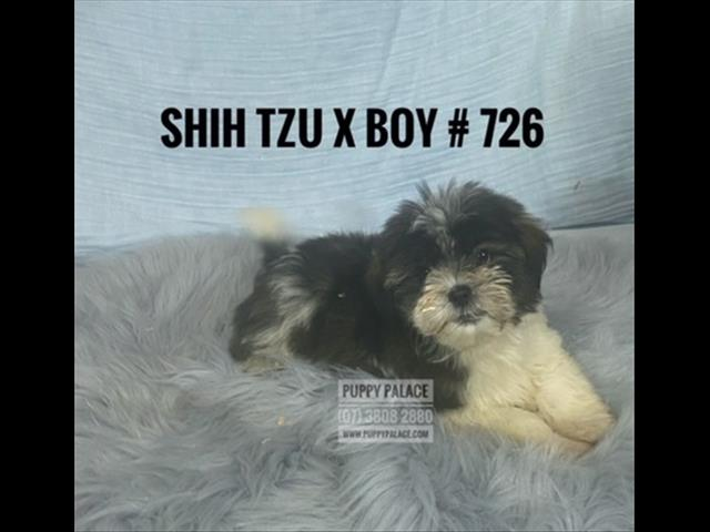 Shih Tzu X Maltese Puppies - Boys & Girl.  In store & ready to go to their furever homes.