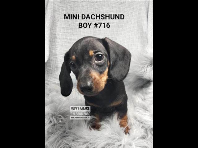 Mini Dachshund Puppies  - Puppy-Palace-Pet-Shop. In store & ready to go to our furever homes...0408-985-133 ....