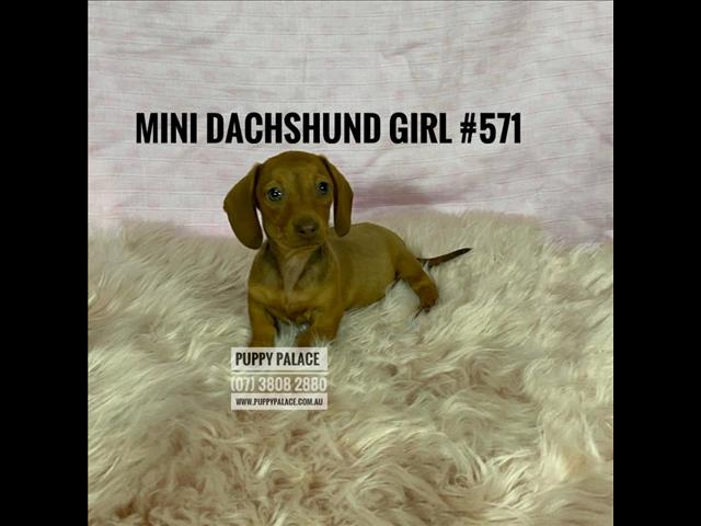 Mini Dachshund Puppies - Red Boys & Girl.  At Puppy Palace Pet Shop.