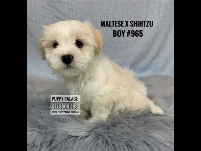 Shih Tzu X Maltese Puppies - Boys & Girls. In store and ready to go home.