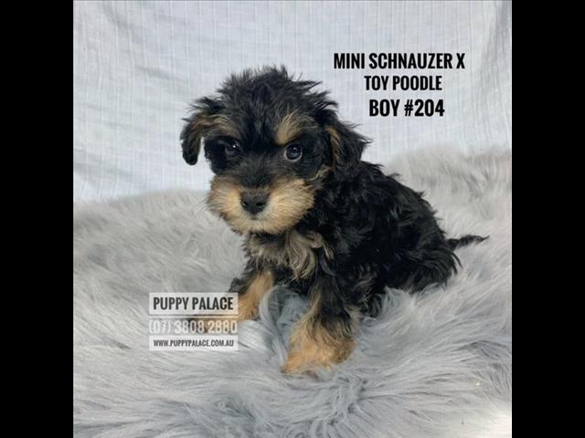 Schnoodle (Mini Schnauzer X Toy Poodle) - Boys. In store and ready to go home.
