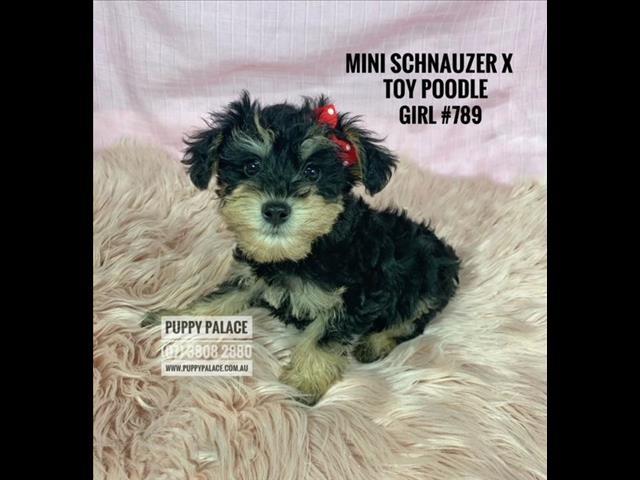 Toy Schnoodle (Mini Schnauzer X Toy Poodle) - Boys & Girl.