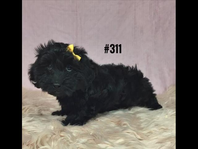 Doxiepoo Puppies (Mini Dachshund X Toy Poodle) - Girl. I am at Puppy Palace, Underwood.   I HAVE ALSO HAD MY 2nd VACCINATION VALUE $100
