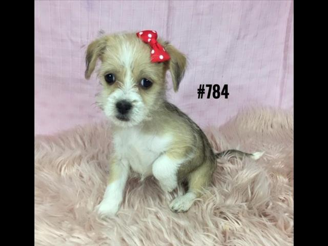 Maltese / Shih Tzu X Puppies - 2 Girls.   At Puppy Palace Pet Shop, Underwood.