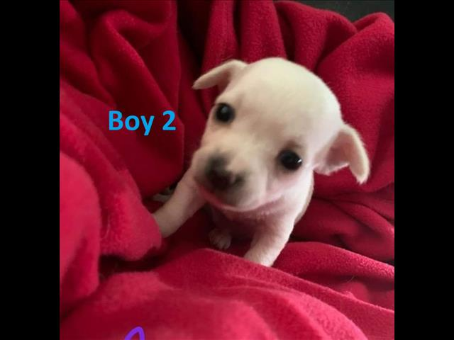 Toy Chihuahua Puppies - We are arriving into store & Available to go home on 29 October
