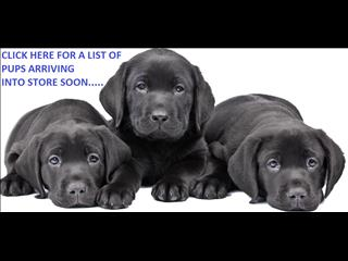 A CLICK HERE FOR A LIST OF NEW PUPPIES FOR SALE ARRIVING INTO OUR BRISBANE STORE SOON