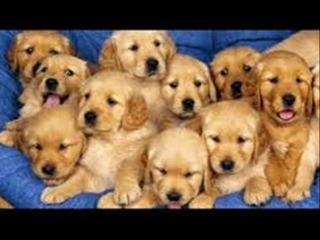 A CLICK HERE FOR A LIST OF NEW PUPPIES ARRIVING INTO STORE SOON